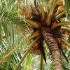 ココナッツ - Wikipedia